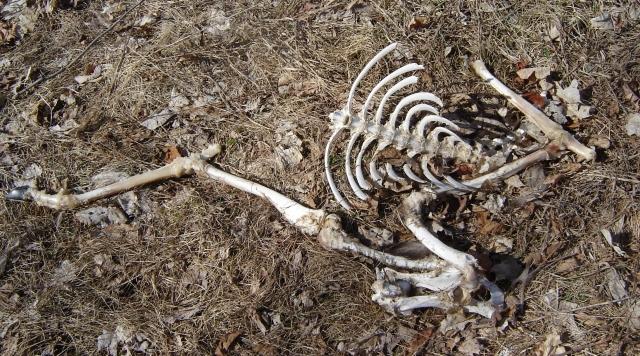 Fawn's Skeleton
