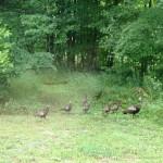 hen turkeys w babies