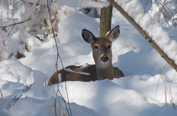 deer-in-winter-snow