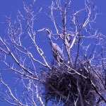 Great blue heron on nest_ Harry Engels